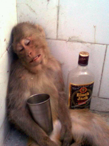 Drunk Monkey with an Empty Bottle of Black Jack - HILARIOUS!
