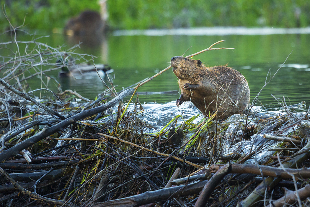Busy Beaver On The Dam